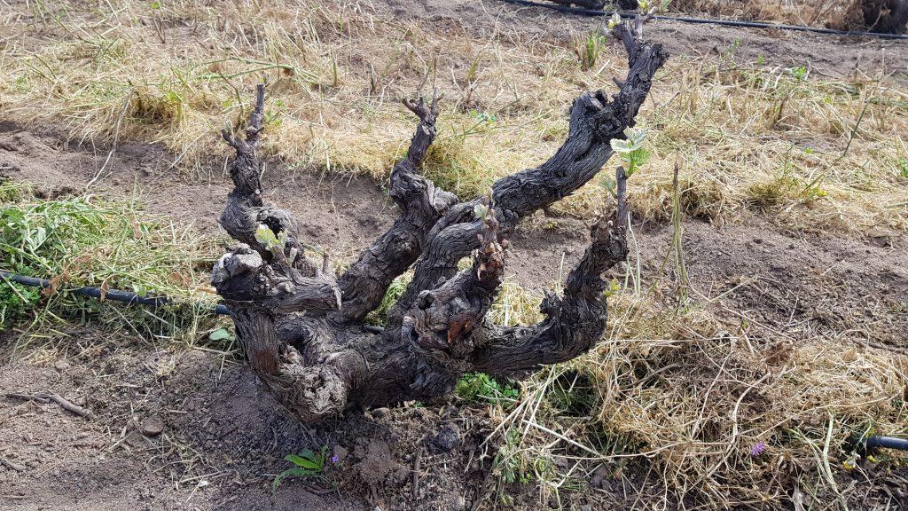 Viña vieja de Chenin Blanc en Stellenbosch